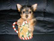Yorkie Puppies Available Text/call via -