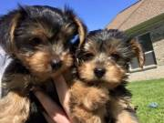 Vaccinated Male and Female Yorkie Puppies For Sale.