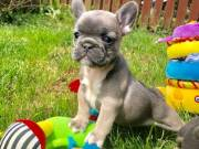 Cute French Bulldog Puppies Looking Urgent Home