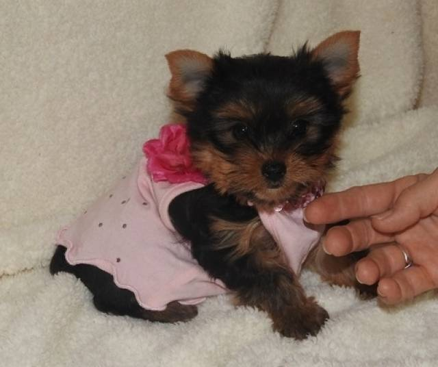 Teacup Yorkie Terrier Puppies For Sale Savannah 561 Layman Avenue