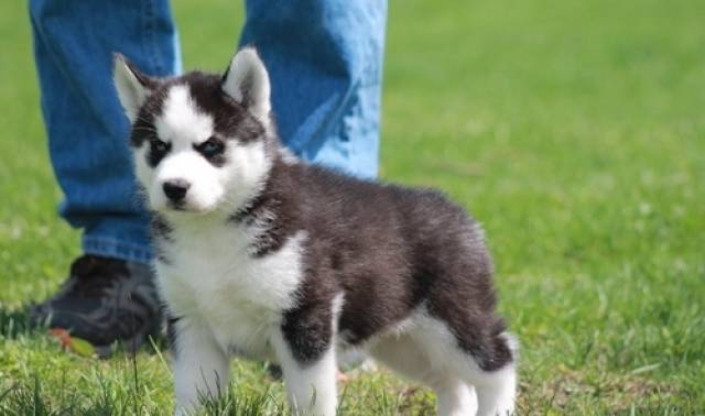 Blue Eyes Siberian Husky Puppies Available For Sale Milwaukee