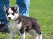 Blue Eyes Siberian Husky Puppies available for sale