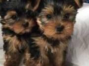 Gorgeous Tiny Yorkie Puppies
