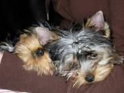 Lovely  teacup yorkie puppies available for free adoption