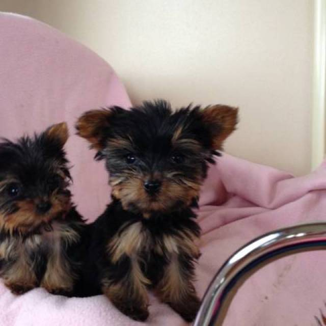 Free Beautiful Gorgeous Yorkies Puppies Not For Sell Free Kansas