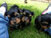 Free Beautiful gorgeous yorkies puppies not for sell free)