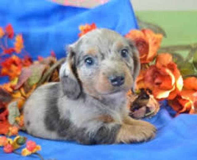 Mini Dachshund Puppies For Sale Virginia Beach Virginian Richmond
