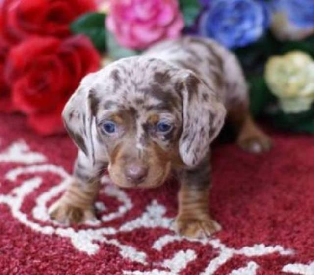 Mini Dachshund Puppies For Sale Virginia Beach Virginian Richmond