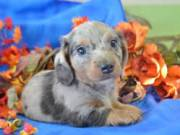 Mini Dachshund Puppies For Sale