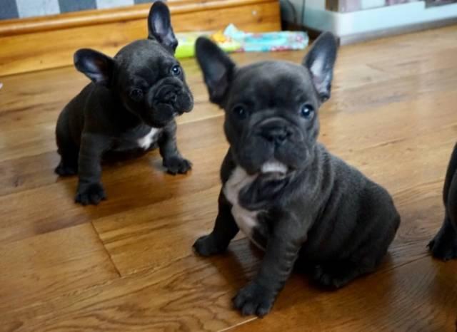French Bulldog Puppies For Sale El Paso Animal Pet