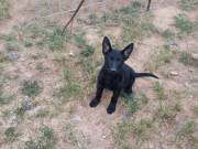 German Shepherd puppies (AKC)
