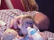Adorable Trained Baby Capuchin Monkeys for You.