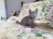 Affectionate Russain Blue kittens Available now.