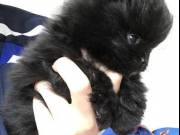 Wanderful male and female pomeranian Puppies for adoption