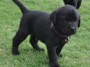 Charcoal black Labrador puppies lovely tempo.