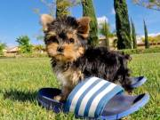 Hand-bag TCup 3Lbs Fully Grown Yorkie Puppies  Available.
