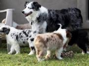 Black & white Tri color Australian shepherd pups with affectionate qualities.