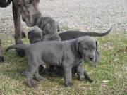 Beautiful pedigree blue great dane puppies.