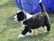 Enthusiastic Bearded Collie puppies greay family pet