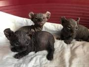 Dwarf Sphynx Kittens Available