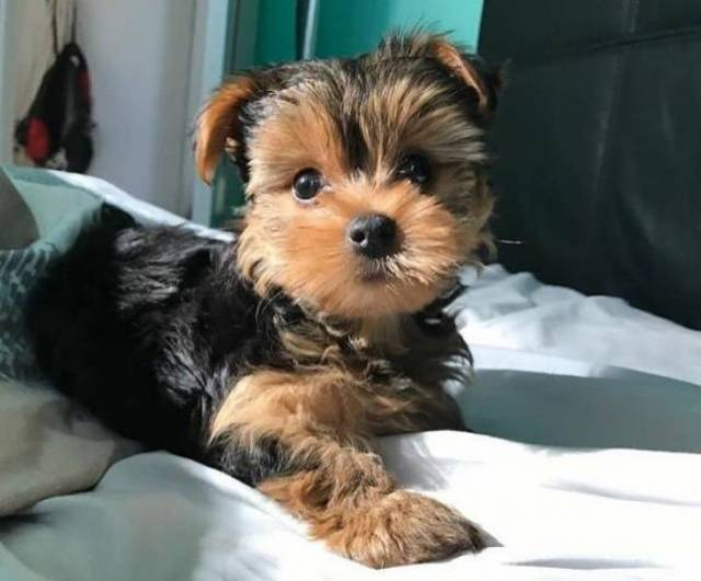Akc Yorkshire Terrier Yorkie Puppies Atlanta Animal Pet