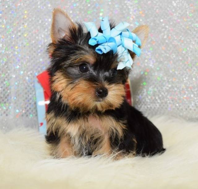 Beautiful Yorkshire Terrier Puppies For Sale Texas City El Paso