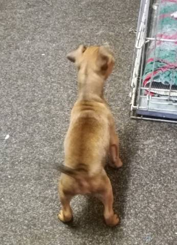 Akc Reg Miniature Pinscher Puppies For Adoption California