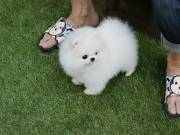 Male and female white POMERANIAN puppies.