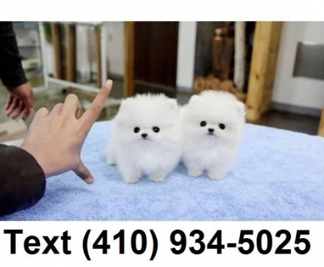 Tiny Teacup Pomeranian Puppies For