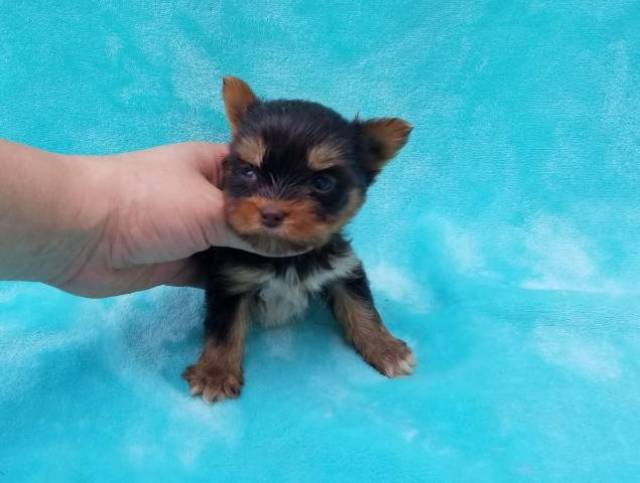 Cute Teacup Yorkie Puppies Available For Sale Saint Petersburg
