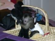 Capuchin Monkey for Adoption text us (678) 719-0332