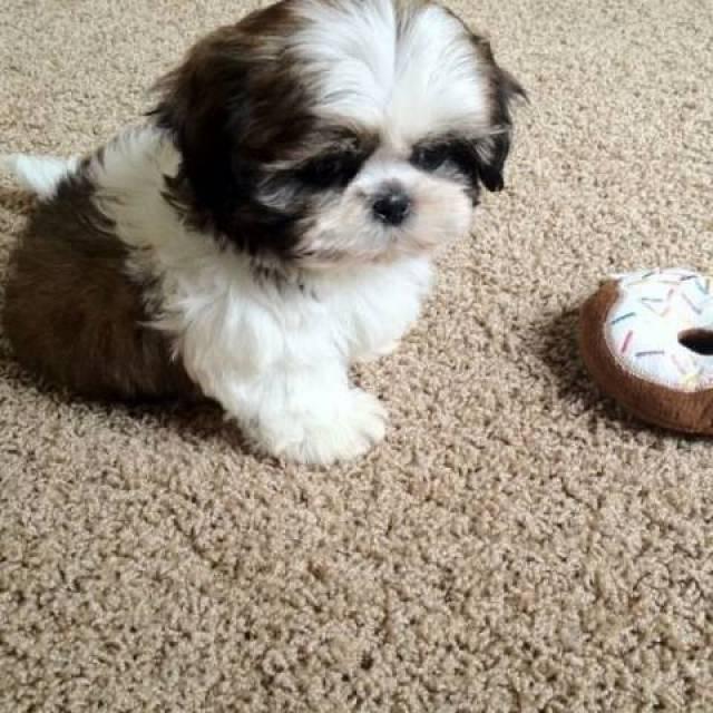 Beautiful Imperial Shih Tzu Puppies Long Beach Animal Pet