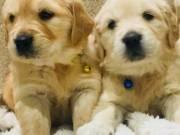 Labrador puppie for adoption