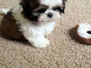 Maltest puppie for sale..(678) 719-0332