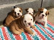 Two cute english bulldog puppies