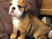 MiNI ENGLISH bulldog puppy