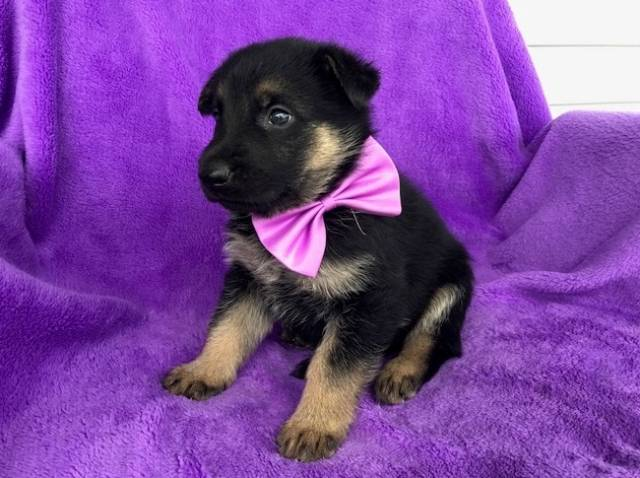Mf German Shepherd Puppies For Sale Austin Animal Pet