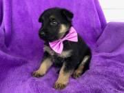 M/F German shepherd puppies for sale.