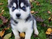 purebred Siberian Husky Puppies.