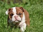 Outstanding English Bulldog puppies