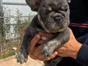 Adorable french and english bull puppies for adoption 210 969 9006