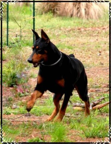DOBERMANS PUPPIES FOR SALE - Baton Rouge, LOUISIANA, 23734 S