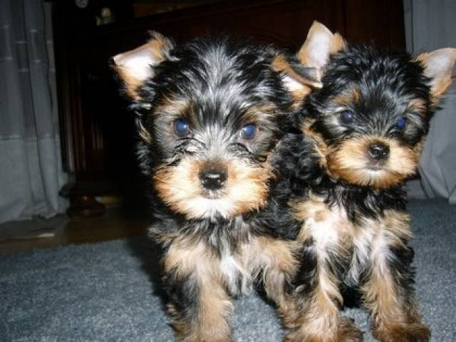 yorkie puppies for sale in philadelphia registered yorkie puppies for adoption philadelphia 7494