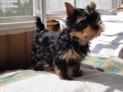 Charming Teacup Yorkie Pups