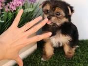 AKC  Healthy Yorkie Puppy TEXT @  (551)-888-3483