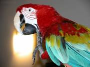 DNA Teseted Macaw Parrot