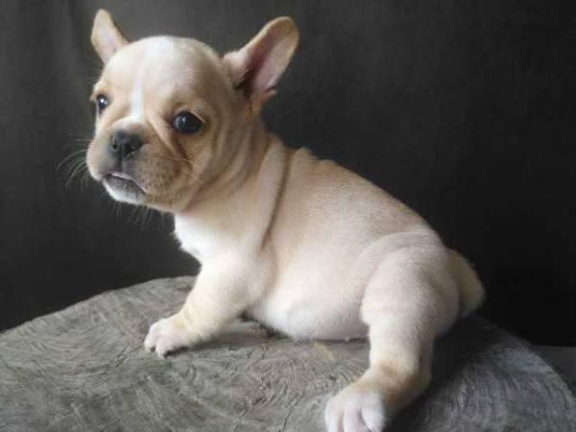 French Bulldog pups - Seattle - Animal, Pet