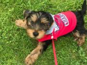 Cute T-Cup Yorkie Puppies