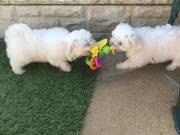 Kc Reg Maltese puppies for rehoming