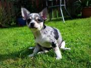 Chihuahua puppies for rehoming